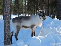 Lapponia Skiweek 2013